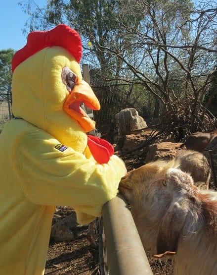תרנגול ראשי